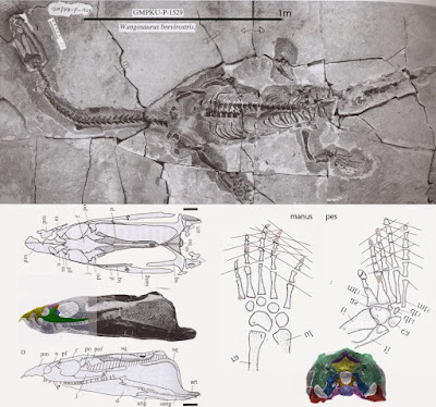 Wangosaurus skeleton