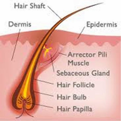 Hair Problems and Treatment : Why Plugged Hair Follicles Thin Your ...