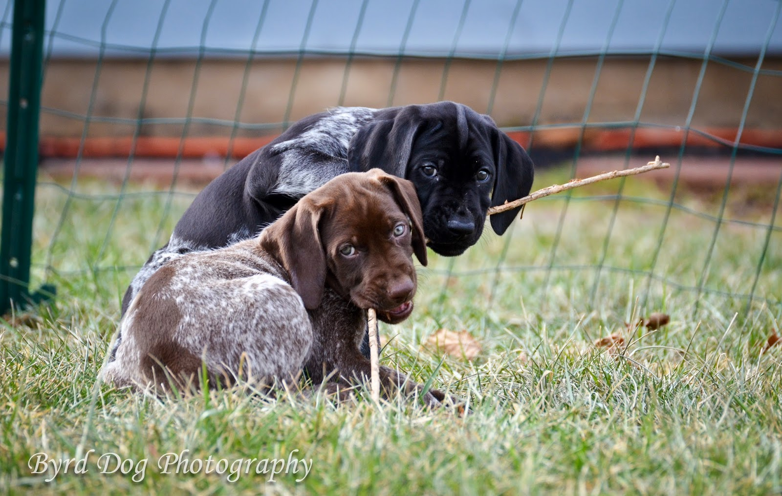Age To Start Training A Hunting Dog