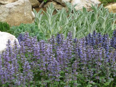 Blue Ground Cover in Rock Garden