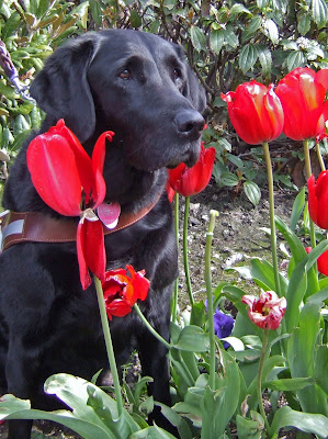 black Lab Jazzy among red tulips