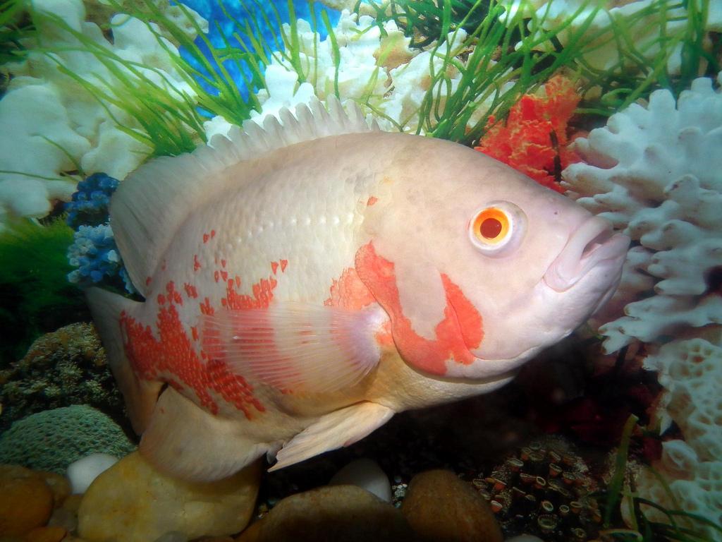 Marine aquariums tiger oscar fish for Tiger fish pictures