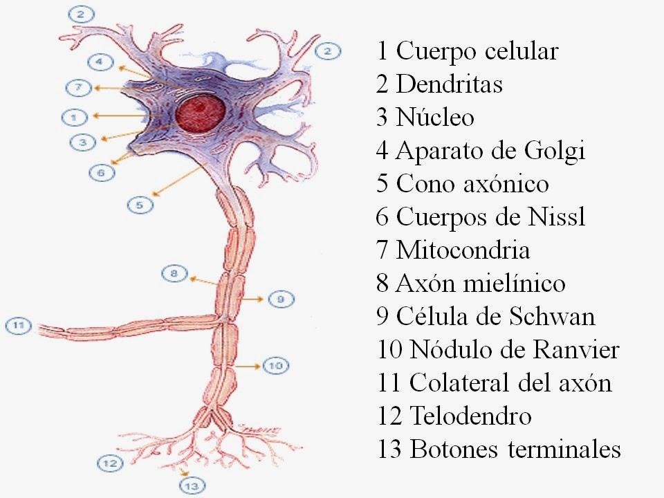 Contemporáneo Opinión De Hoja De La Anatomía Y La Fisiología De La ...