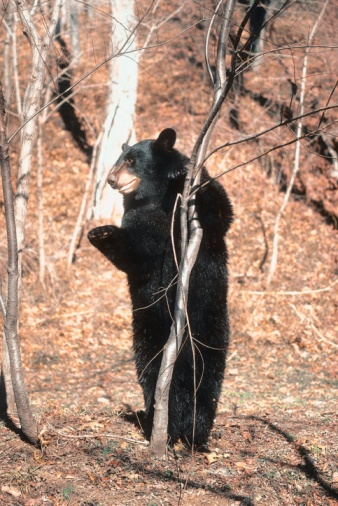 More than 150 Ohio Black Bear sightings reported in 2010