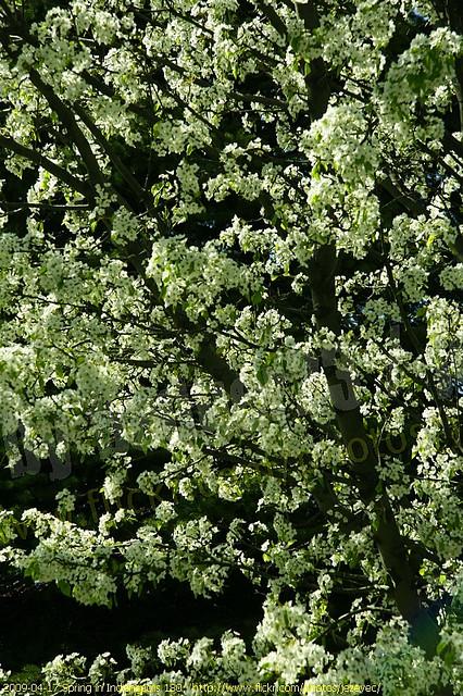 gambar tanaman pohon kina dan khasiatnya
