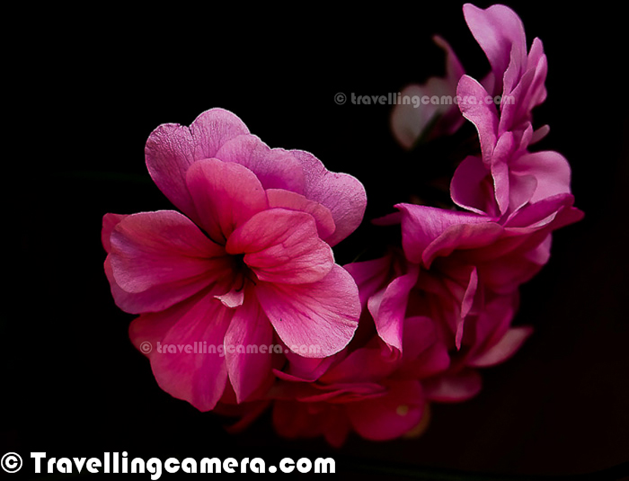Today is day of Flowers with Black/Dark Backgrounds. The day started with a Facebook chat with one of my friends. He wanted to know the secrets of such shots where we see Flower with Black/Dark Photographs. Of-course, on Photo Journey we are not going to share various techniques to achieve it. This Photo Journey is more about sharing some of the photographs we have shared in different stories and have colorful flowers with Black/Dark background.In the bottom there is a link to know techniques to achieve such photographs, which are quite simpleThe First photographic result is mix of some shooting techniques and Post-Processing in Adobe Photoshop Lightroom.  But the photograph just above is not processed at all. This one was shot during one of my trips to Jim Corbett National Park and these flowers were there in the resort, where we were staying. If you see carefully, above photograph is showing back side of the photograph and direction of shooting this flower was one of the main requirement to get black background. If the question about 'HOW' is bothering you too much, then check out - http://bit.ly/GW3ywW and come back here :Above Photograph was shot during Noida Flower Show in 2010 and the original photograph was not properly shot. So above photograph has lot of Photoshop work and it's basically over-processed.Blacks are something which makes any photograph more appealing. Many times people ask - 'Last night I clicked some photographs at my daughter's birthday. What should I do in Photograph to make them better'. The very simple answer from my side is Levels and Blacks. Because, the way people think about Photoshop is not right. There is lot of subjectivity involved when we talk about Post-Processing a photograph in Photoshop. How such questions can have simple answer.If you are also interested in trying such photographs, just check out - http://bit.ly/GW3ywW. This article talks about each photograph you are seeing in this Photo Journey and talking about the basic approaches followed for these.