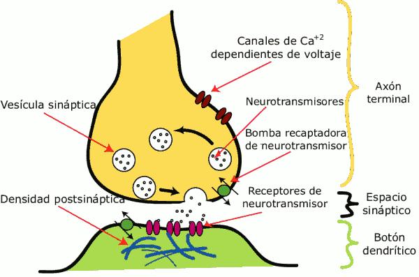 Receptores, Redes neuronales y Sinapsis