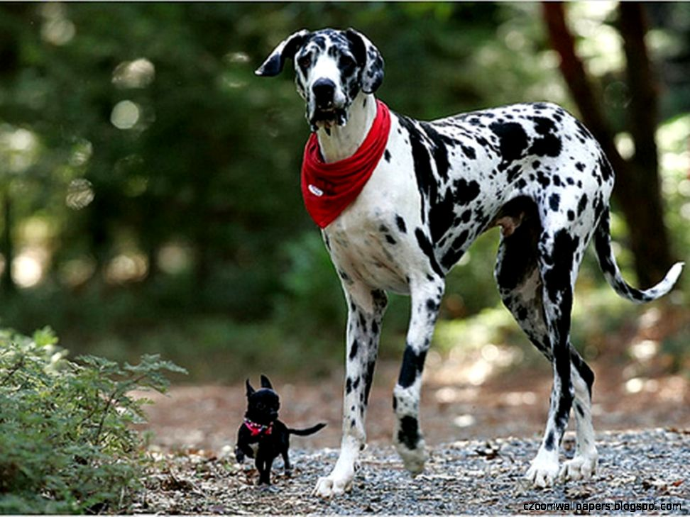 Dalmatian Dog HD Wallpapers  Pet Dog Dalmatian Desktop Wallpaper