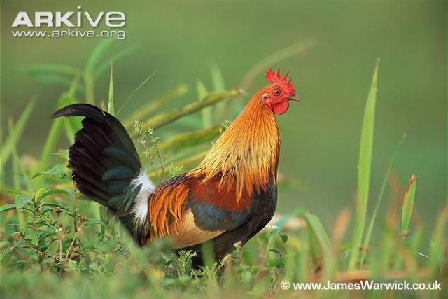 Ayam+Hutan rappets.com