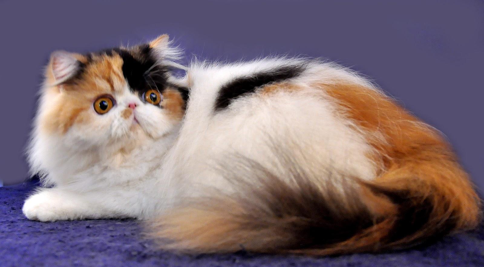 Hewan Lucu 2016 Hewan Anak Kucing Anggora Images