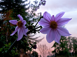 Closeup of Giant Dahlia with Pink Sky Behind