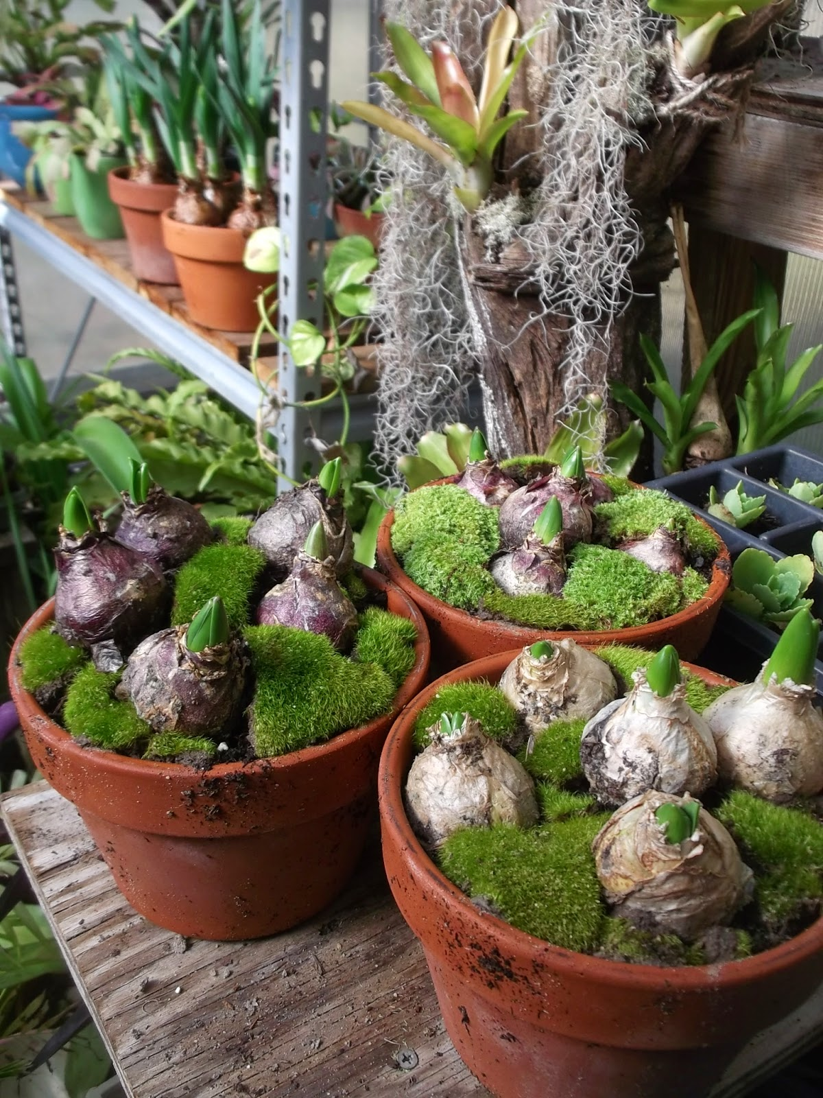 Secrets of a seed scatterer hyacinths it isn 39 t too early to plan for indoor bloom - Planting hyacinths pots ...