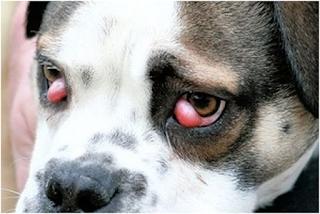 Ảnh chó bị mộng mắt cả hai bên