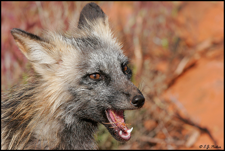 Animals pictures: Cross fox