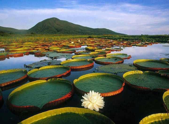 Water lily's,pantanal matogrossense national park,Brazil
