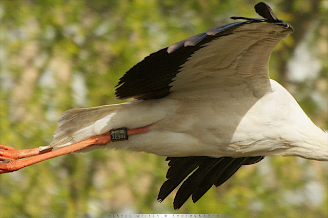 Ooievaar - White Stork - Ciconia ciconia NLA2E302
