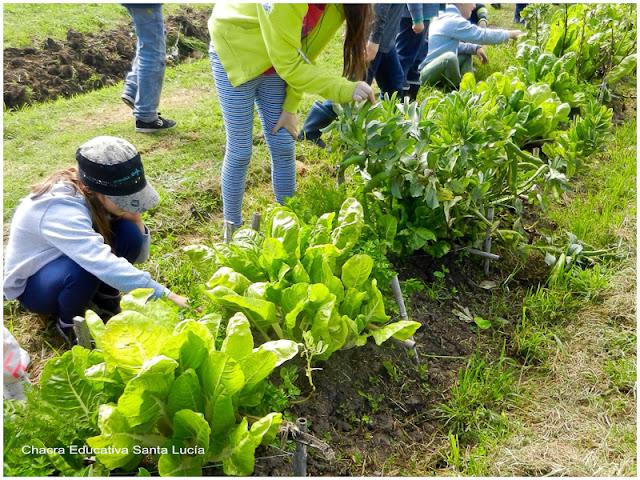 Cosechando la siembra de los canteros - Chacra Educativa Santa Lucía