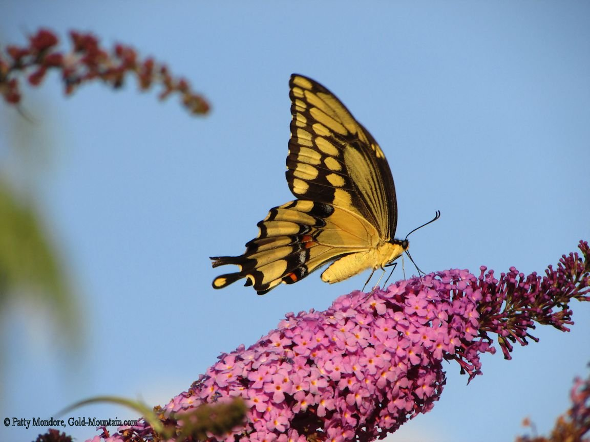 Tiger Swallowtail Butterfly Wallpaper 56pic  - tiger swallowtail butterfly wallpapers