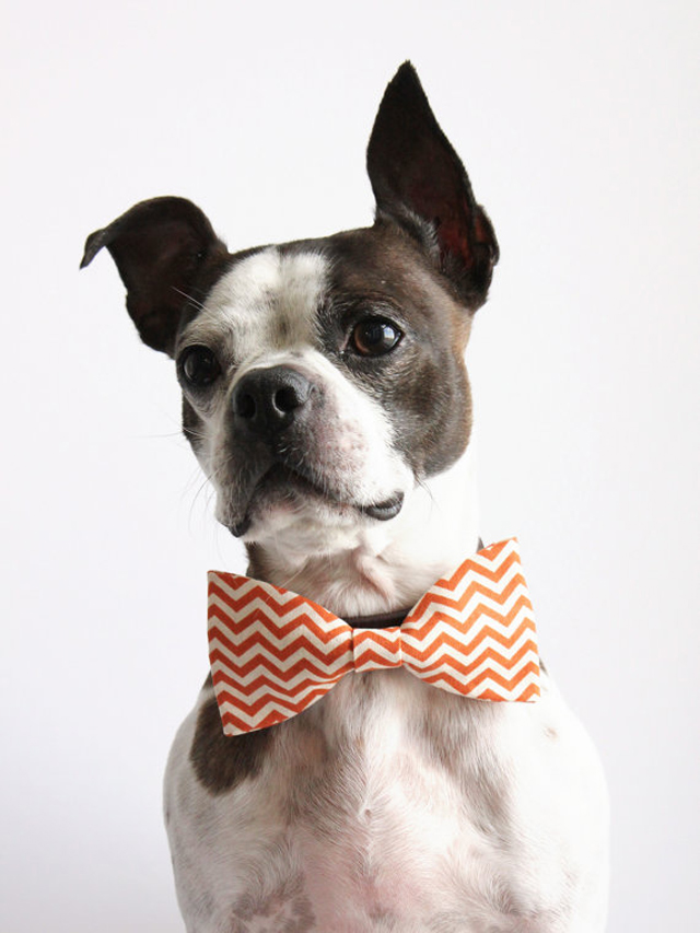 chevron print, boston terrier, halloween decor diy