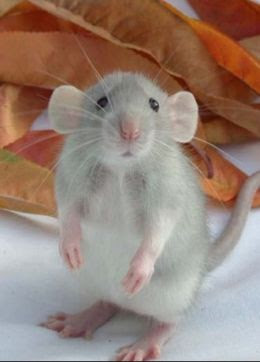 Cute baby dumbo rat - photo#7