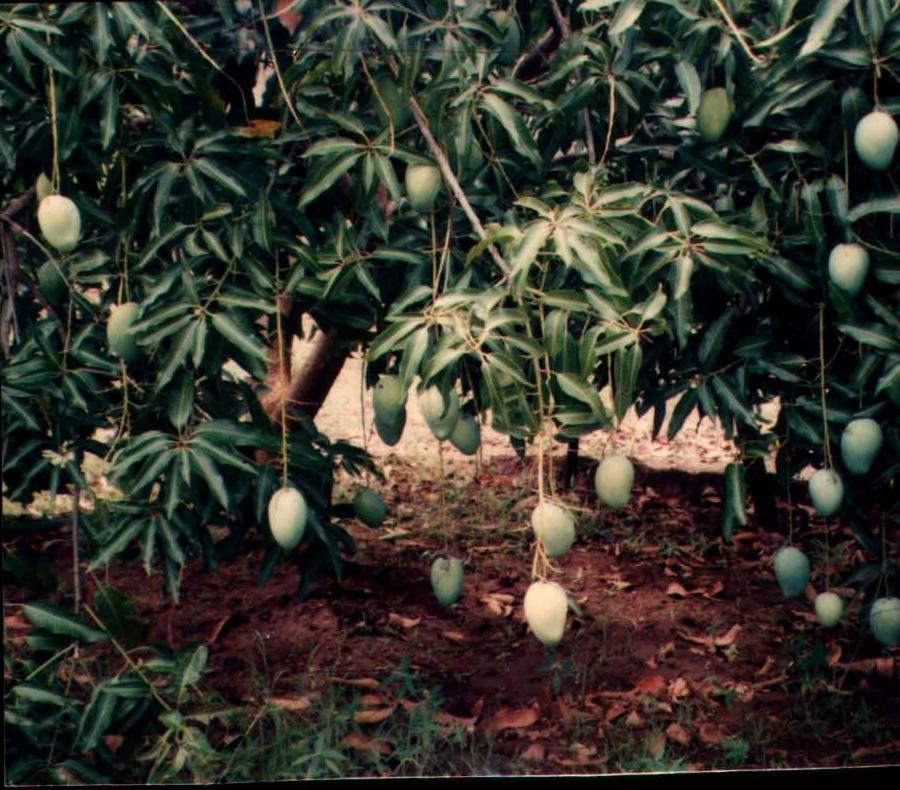 Agar Pohon Mangga Berbuah Lebat Pohon Berbuah Lebat