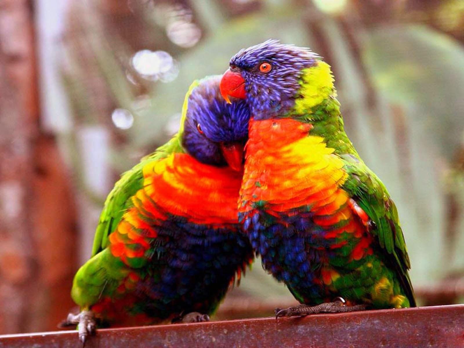 Foto Love Bird Jantan dan Betina Cara Beternak Anakan Lovebird