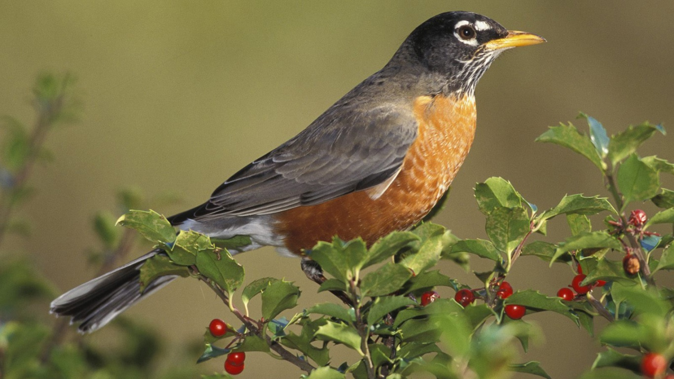 American Robin and Bird Anatomy http://atm-atmpranab.blogspot.com/2012/01/various-beautiful-birds-in-world.html