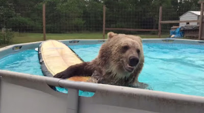 bear, swimming pool