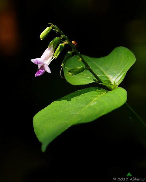 Photographing Wild Flowers - Asystasia Dalzelliana