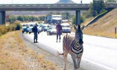 Zebra Masuk Tol