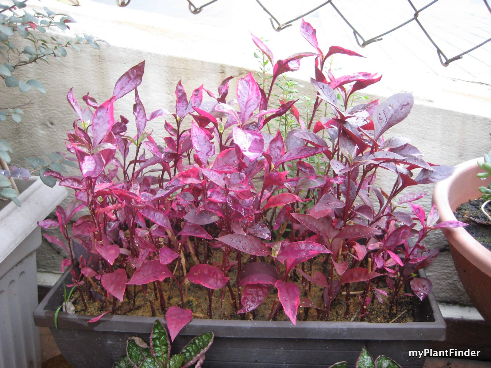 My Plant Finder Plant Guide Alternanthera Dentata Brazilian Red