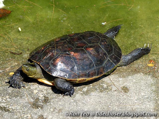 Mauremys Sinensis Distribution Turtle Mauremys Sinensis