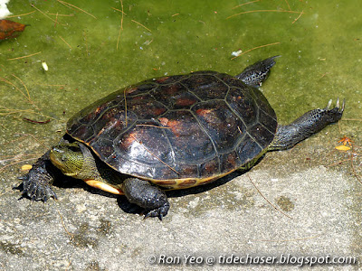 Chinese Stripe-necked Turtle (Mauremys sinensis)