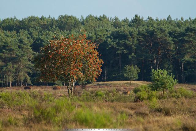 Wilde Lijsterbes - Mountain Ash - Sorbus aucuparia