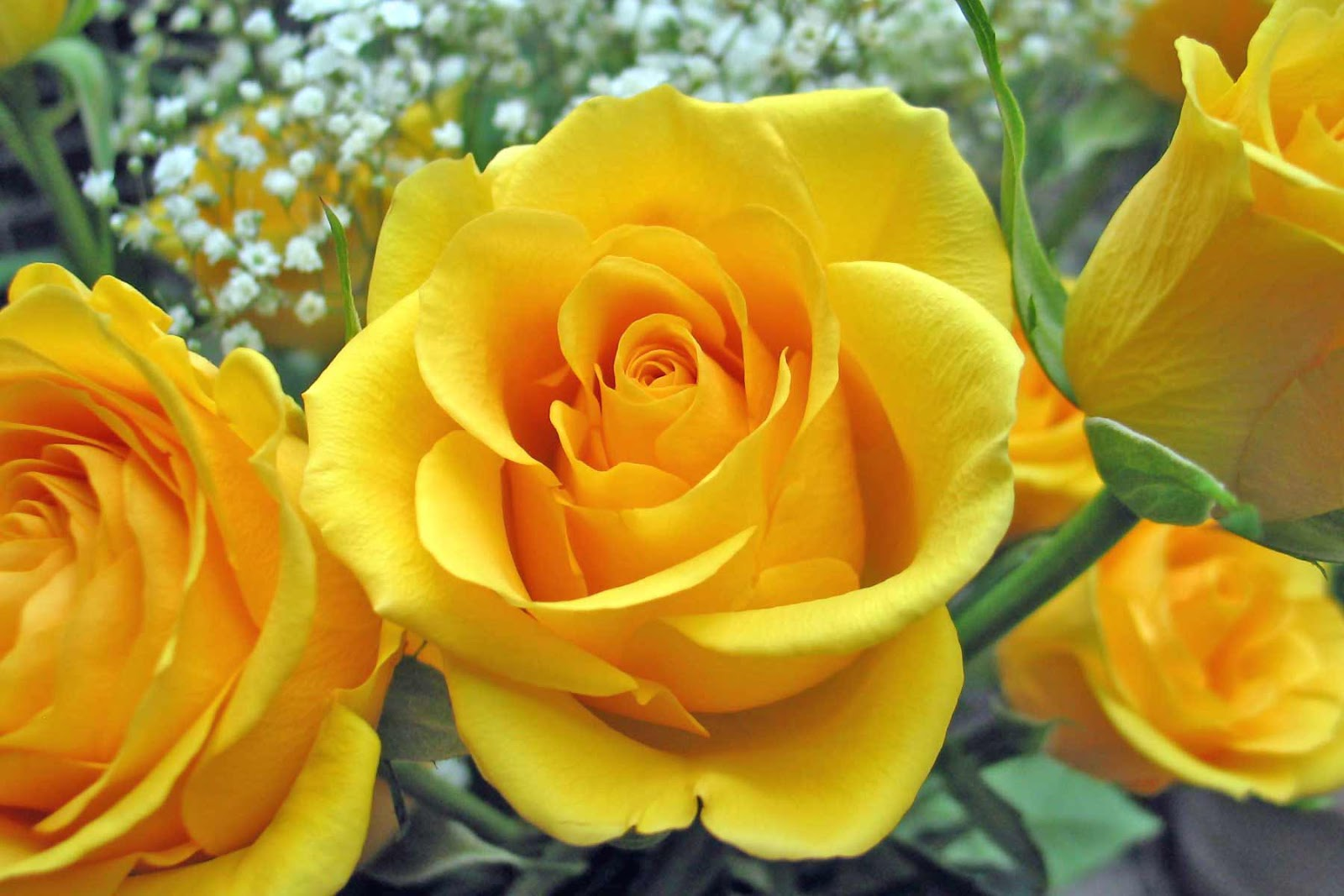 Yellow Rose Flowers - Flower HD Wallpapers, Images ...