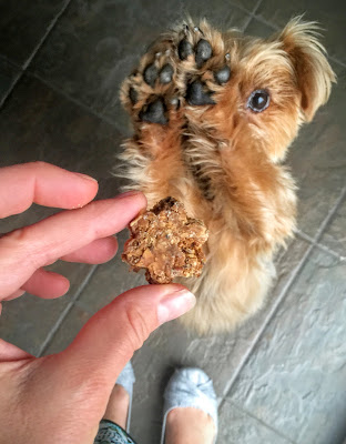 Yorkie eating a treat