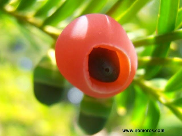 TEJO: Taxus baccata