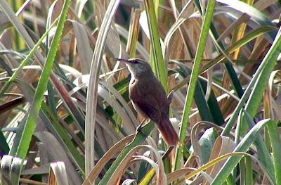 pajonalera pico recto aves de Argentina en peligro Limnoctites rectirostris