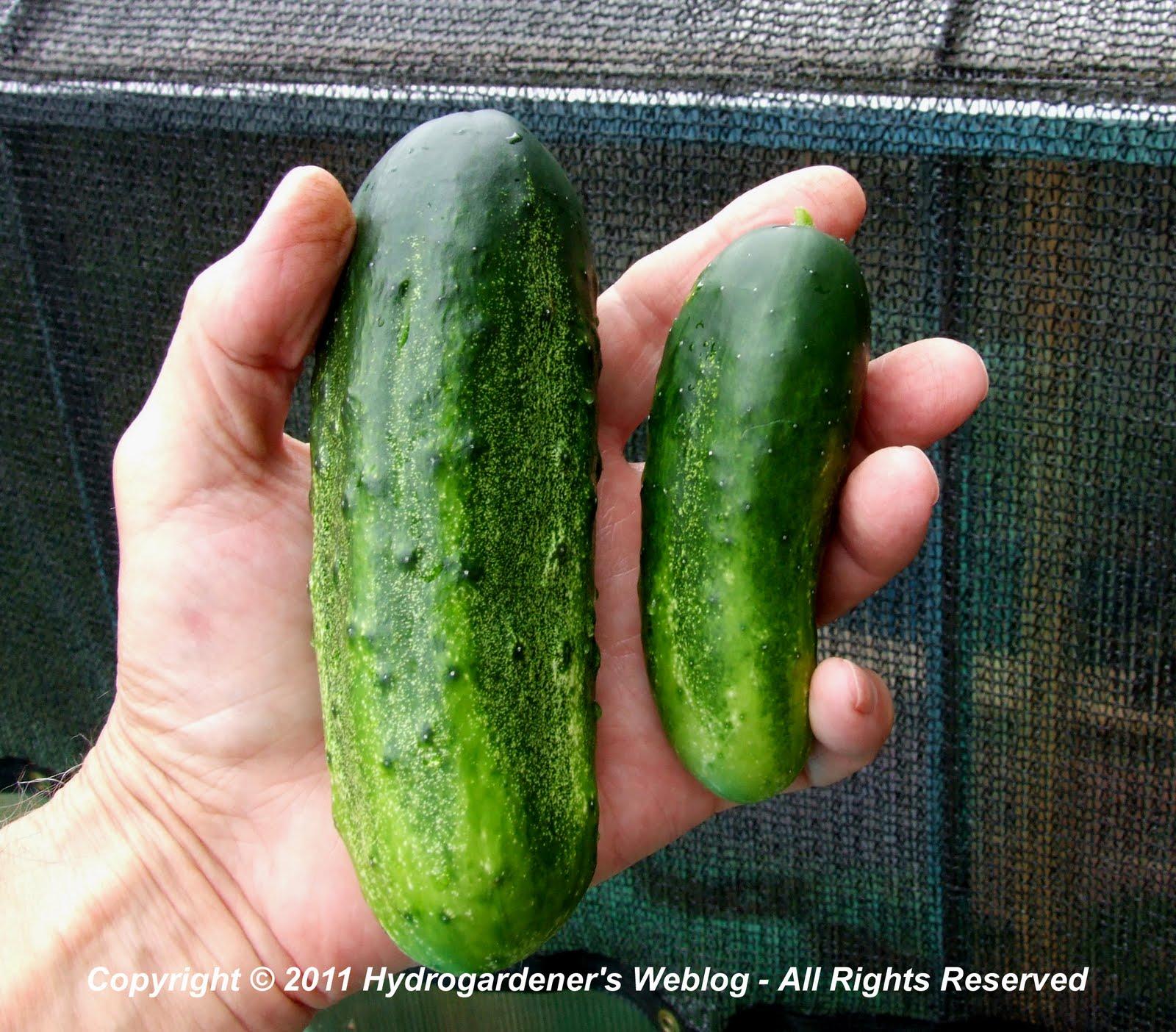 parthenocarpic cucumber