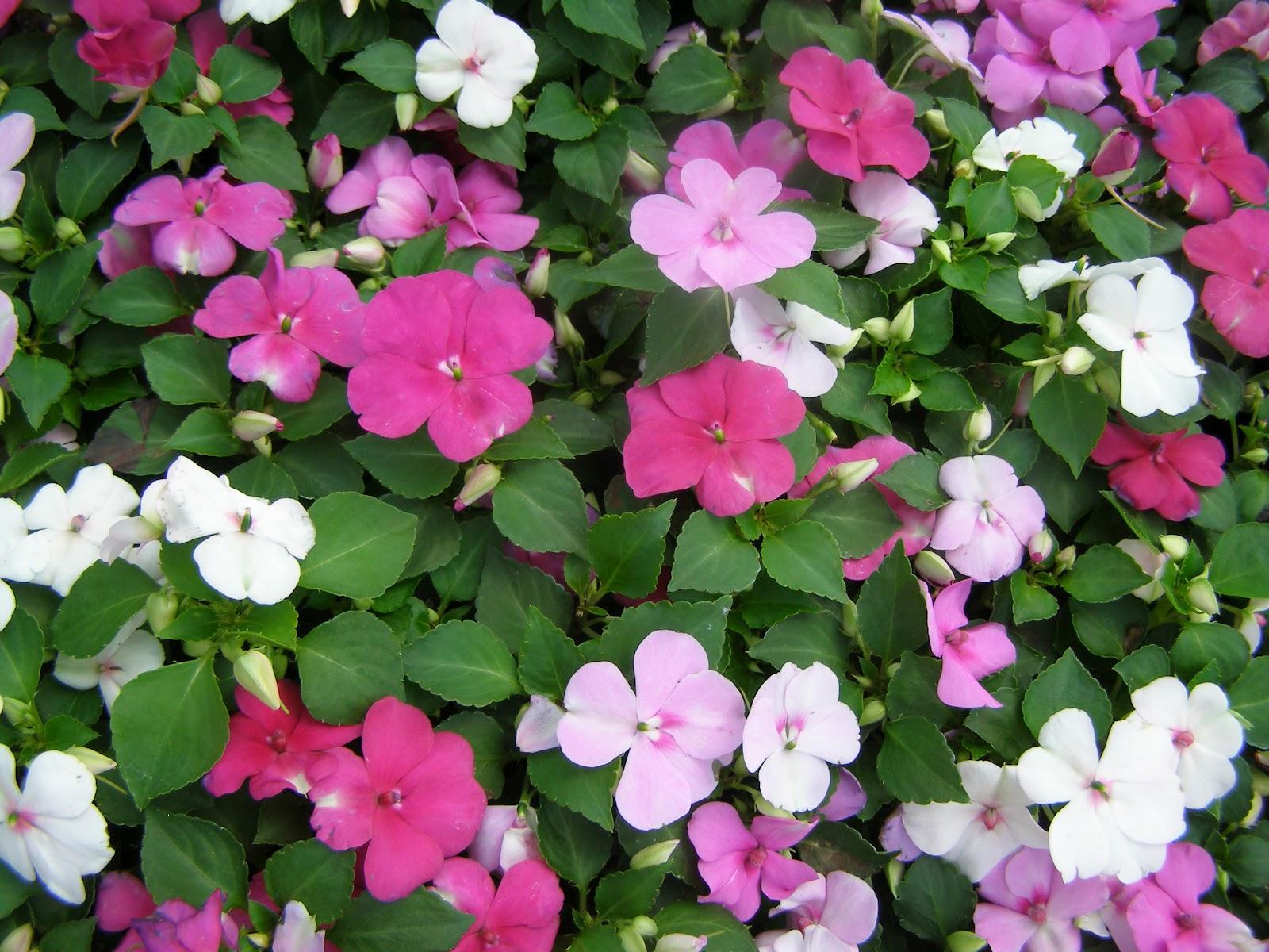 flowers for flower lovers Impatiens flowers