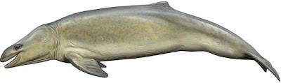 ballenas extintas Mammalodon
