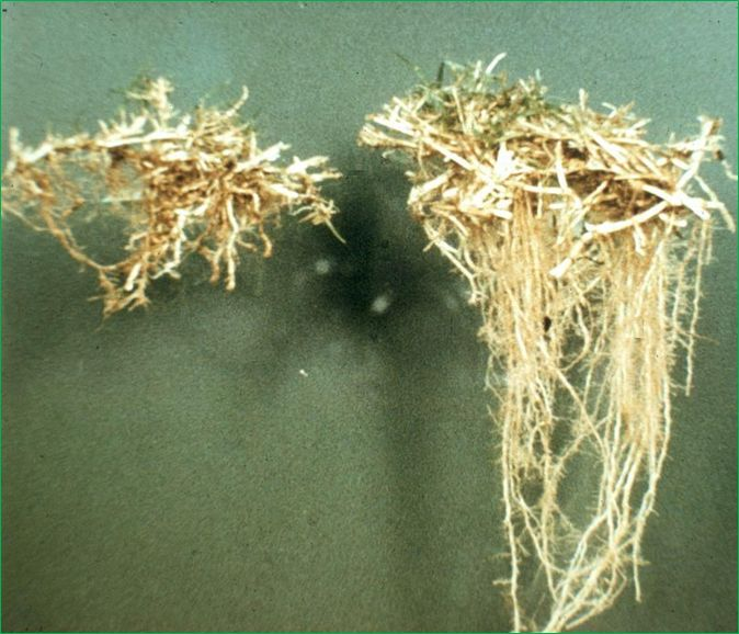 how to kill nematodes in soil