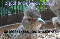 Burung Branjangan Jambul Di Jual Di Cirebon