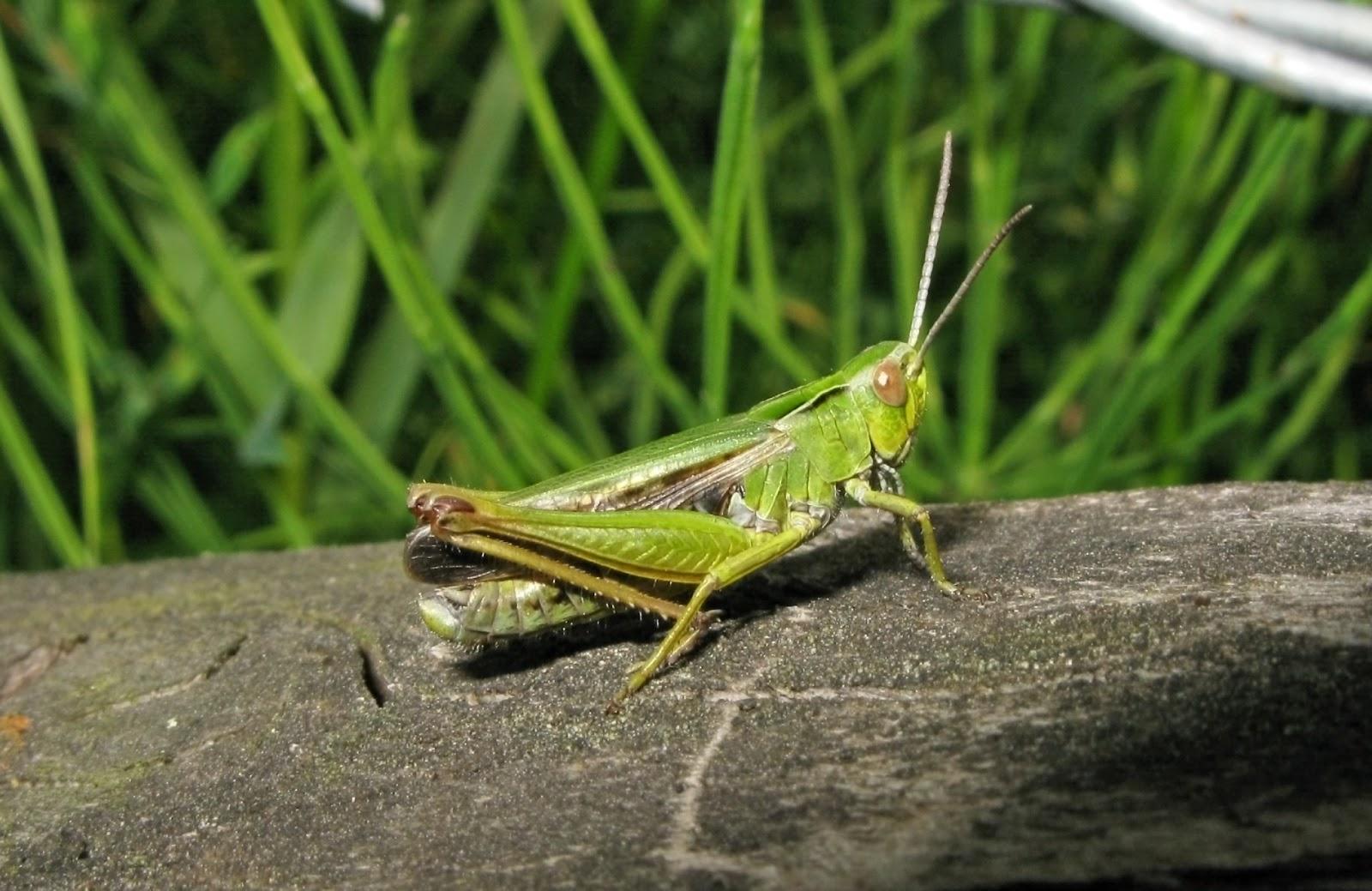 Green Grasshopper Species