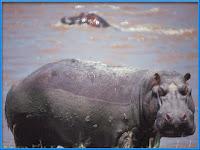Hippopotamus Hippopotamus Amphibius Pictures