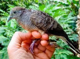 Penyakit cacingan pada burung perkutu dan cara mengatasinya