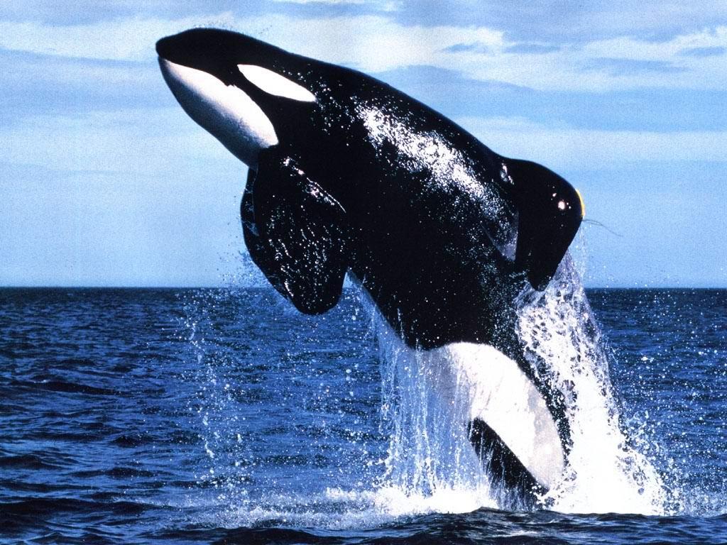 http://3.bp.blogspot.com/-XjZvDFx_Ljo/Ttju2s0U-oI/AAAAAAAAGlE/ue63X-QTAXA/s1600/killer_whale.jpg
