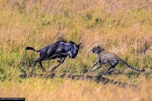 Tidak Ingin Dijadikan Mangsa Lembu Liar Ini Serang Balik Cheetah