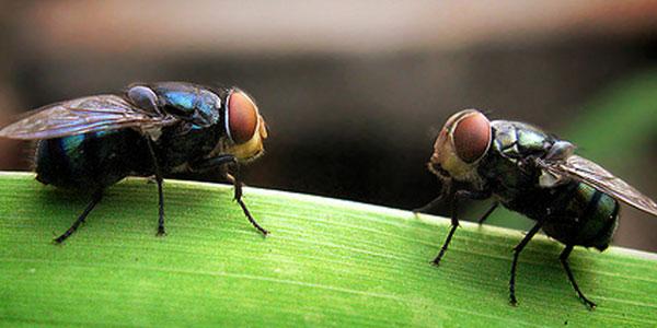 pengendalian hama lalat