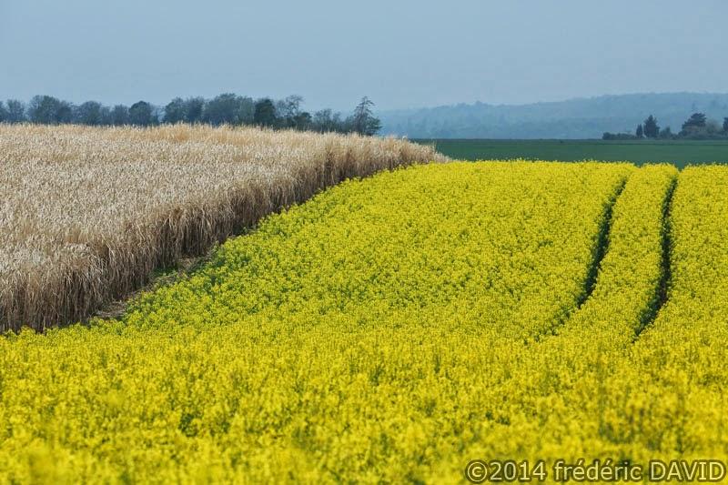 champ printemps colza Seinet-et-Marne
